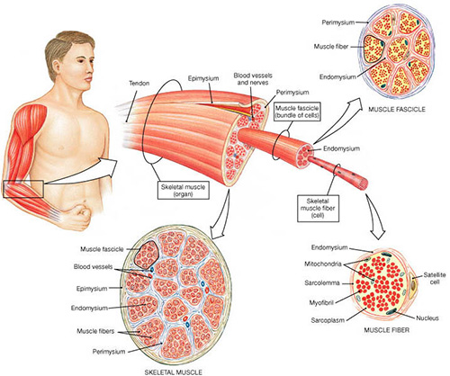Skeletal Muscle Tissue What Is It And How Does It Work Youcoach